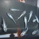 銀世界メダカ5匹MLサイズ