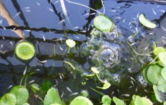 自然の井戸水で飼育しているメダカ