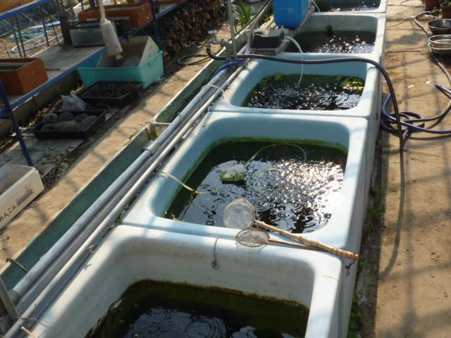 第1メダカハウスの浴槽水槽