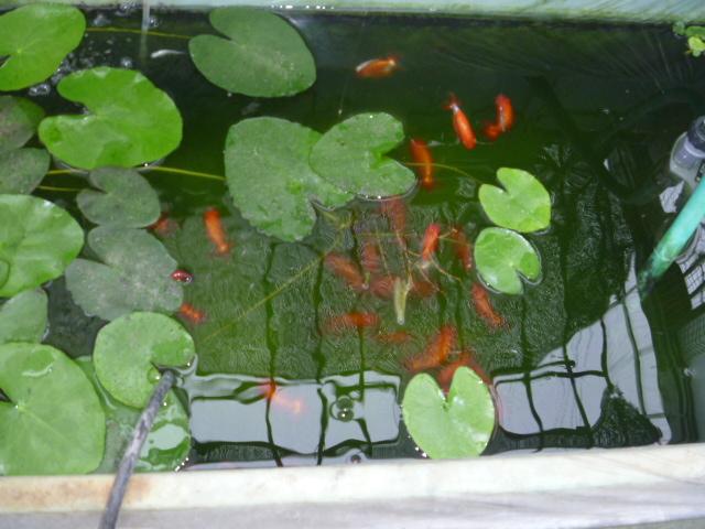 第1メダカ池で飼育するらんちゅう