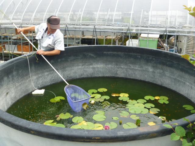 (楊30系統)楊貴妃メダカ飼育用の巨大円筒水槽