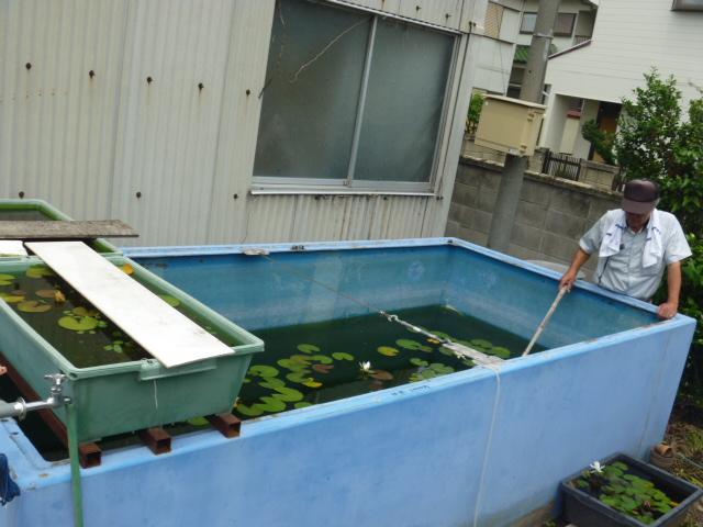 楊貴妃メダカを飼育している巨大水槽