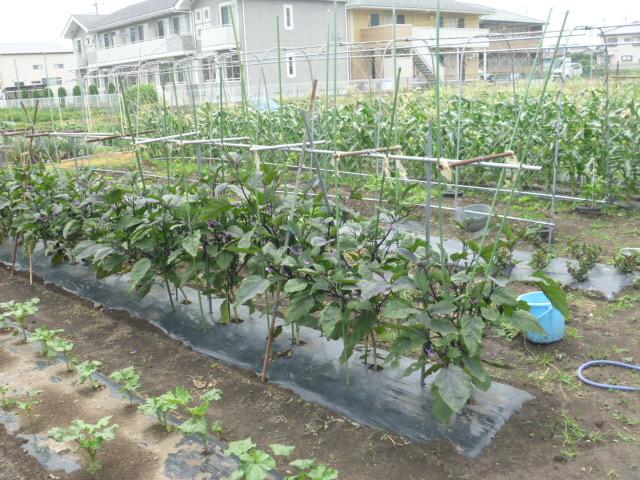 メダカ飼育庭園の横では野菜や果物栽培中