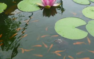 水練の葉の下で泳ぐ楊貴妃メダカ